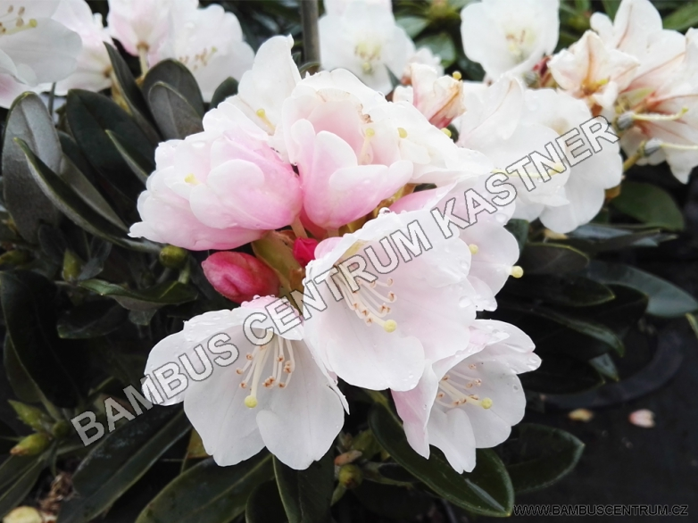 Rhododendron pachysanthum 'Silber Velour'