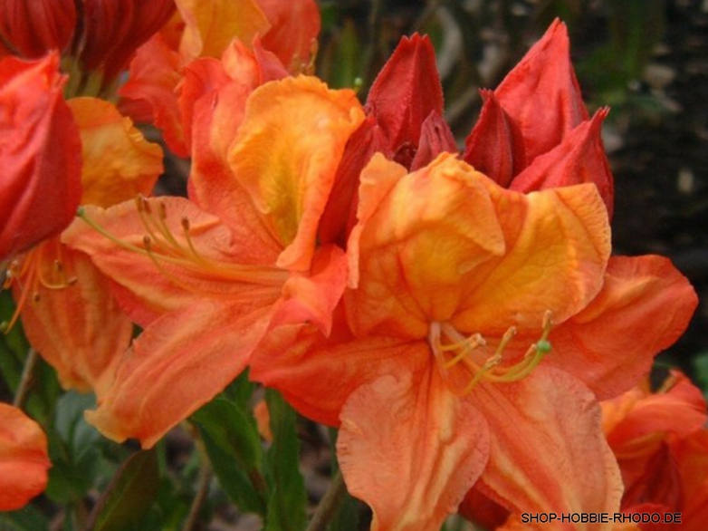 Azalea knap-hill 'Glowing Embers'