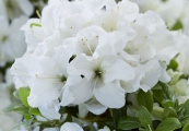 Azalea encore 'Pure White Julia'