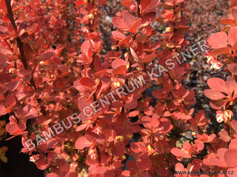 Berberis thunbergii 'Orange Sunrise' – Dřišťál Thunbergův