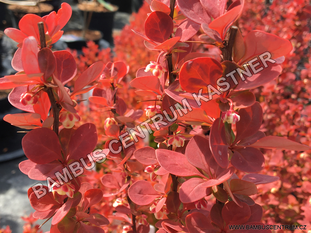Berberis thunbergii Orange Sunrise