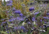 Caryopteris clandonensis 'Heavenly Blue' – Ořechoplodec