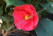 Camellia retusa 'Marry Williams' – Kamélie