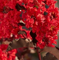Lagerstroemia indica 'Red Hot'