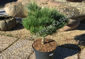 Pinus strobus 'Lairds Broom' – Borovice vejmutovka
