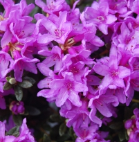 Rhododendron Frost Hexe