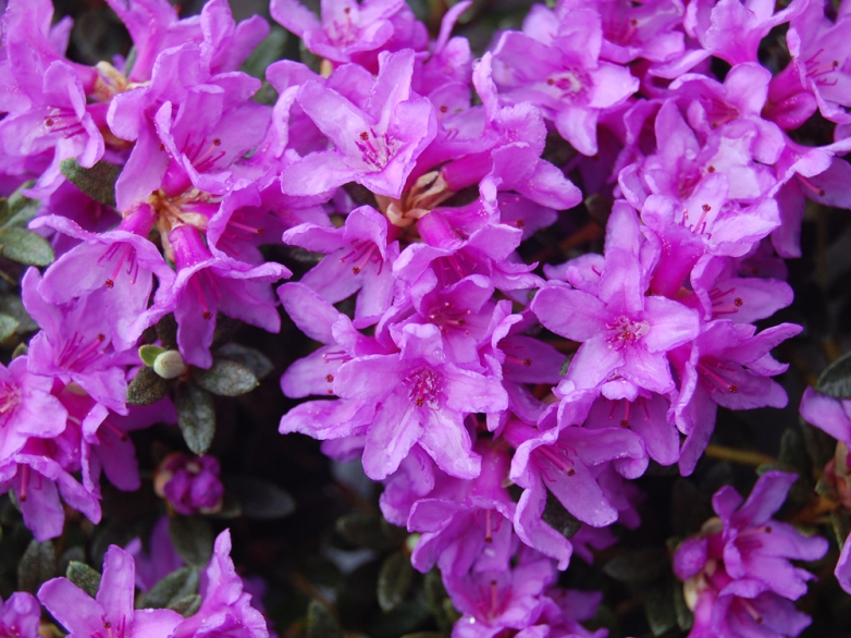 Rhododendron 'Frost Hexe'