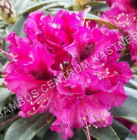 Rhododendron 'Madam Fortier'