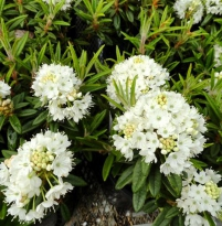 Rhododendron Milky Way