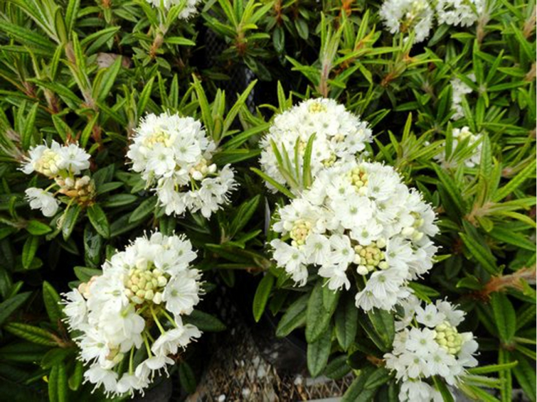 Rhododendron 'Milky Way'
