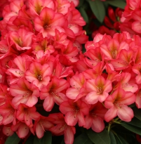 Rhododendron Picasso