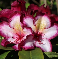 Rhododendron 'Pushy Purple'